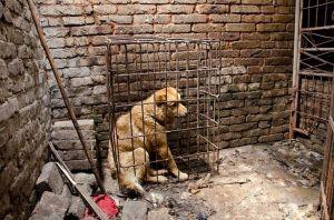 Hund på slakteri i Kina